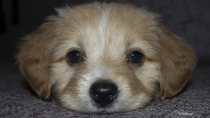 Foreign Body Surgery and the Importance of Puppy Proofing