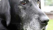 Aural Hematoma in Dogs