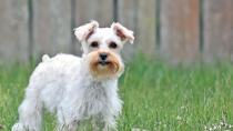 Valvular Heart Disease in Dogs