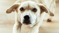 Hematuria: Blood in Urine of Dogs and Cats