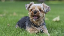 Hemorrhagic Gastroenteritis (HGE) Looms Large over Small Dogs