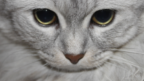 Hypercalcemia in Cats