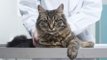Cat getting an exam at the vet