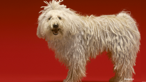 The Komondor