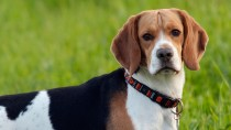 Leishmaniasis in Dogs