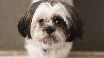 Lung Cancer and Lung Surgery in Dogs