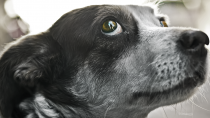 Macrocyclic Lactones: Ivermectin for Dogs