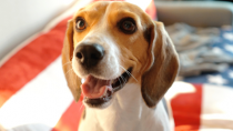 beagle heled by orthopedic ultrasound