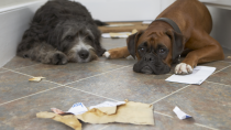 Pica: Why Do Dogs Eat Strange Things?