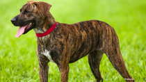 The Plott Hound
