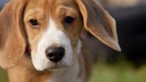 Diaphragmatic Hernia in Dogs