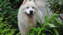 Diabetes Mellitus in Dogs