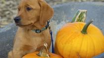 Dog with pumpkins in a wheelbarrow