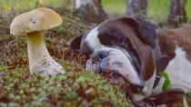 Dog laying next to a mushroom