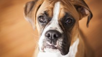 Eye Ulcers: A Common Condition in Boxers and Other Adult Dogs