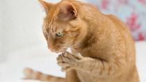 Feline Bartonella: Beyond Cat Scratch Disease