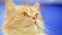 Feline deafness