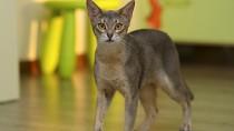Glomerular Disease in Cats
