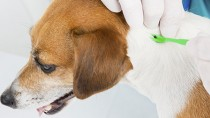 Removing a tick on a dog