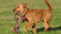 The Irish Terrier