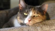 Malignant Melanomas in Cats