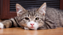 Multiple Myeloma in Cats