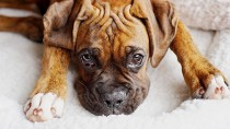 Adorable brindle Boxer
