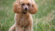 Normal Abnormalities in Dogs: Typical Changes Caused by Age or Stress