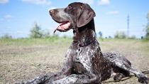 Osteosarcoma: Bone Cancer in Dogs