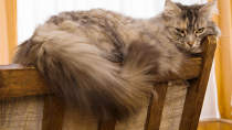 Stud Tail in Cats