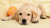 Two Ways of Spaying a Dog: Ovariohysterectomy vs. Ovariectomy