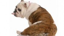 Why Do Dogs Scoot Along the Floor on Their Butts?