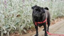 Bulldog with Rectal Prolapse