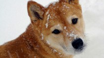 Dogs, Breeds, Shiba Inu