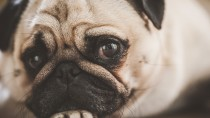 Sudden Acquired Retinal Degeneration Syndrome (SARDS) in Dogs
