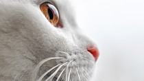 Sudden Onset Blindness in Cats