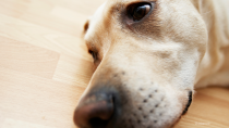 The Sugar-free Substance Xylitol is Poison for Dogs.