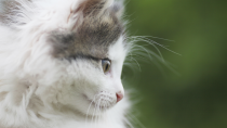 Tapeworm Infection in Cats