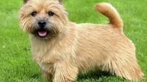 Norwich terriers