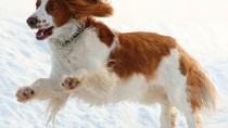 The Welsh Springer Spaniel