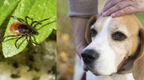 Tick Paralysis in Dogs