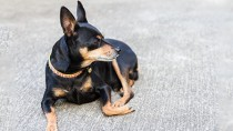 Miniature Pinscher laying down