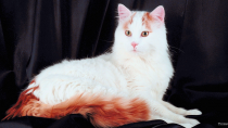 Turkish Van