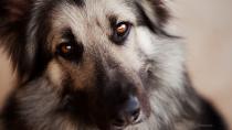 Von Willebrand's Disease in Dogs