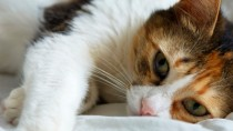 What is Bothering Your Cat? It Could Be Feline Allergies