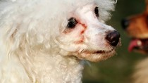 Why Does My Dog Have Tear Stains?