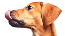 Dog Licking Lips