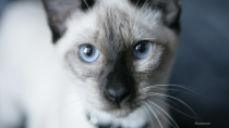 Your Cat not Eating May Lead to Fatty Liver Disease