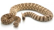 Your Pet & Venomous Snakes: Part II