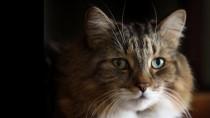 Is Your Seemingly Healthy Senior Cat Hiding Heart Disease?
